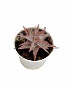 Pianta Grassa Aloe...
