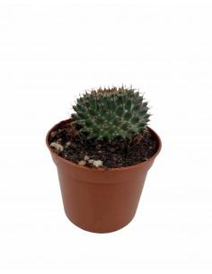 Pianta Grassa Mammillaria...