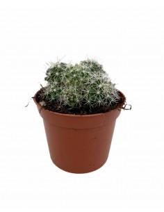 Neoporteria Succulent Plant