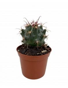 Cleistocactus baumannii...
