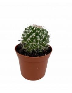 Crassula Obliqua Succulent...