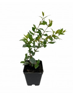 Pianta Abelia Vaso 7cm