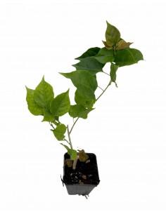 Bouganvillea Plant