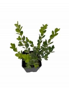 Pianta Buxus Faulkner Vaso 7cm
