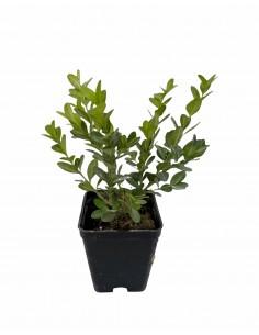Pianta Buxus Rotundifolia...