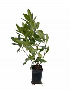 Pitosforo Tobira plant