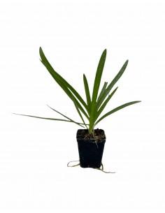 Agapanthus Africano Plant