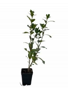 Pianta Gardenia Nana