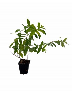 Hypericum Hidcote Plant