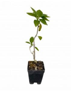 Iochroma Plant