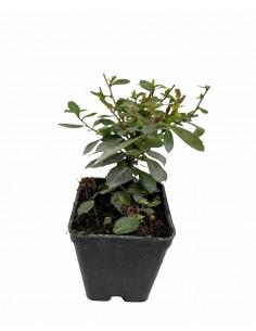 Escallonia Red Dream Plant