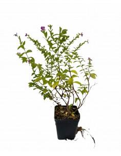 Cuphea Melvillea Plant