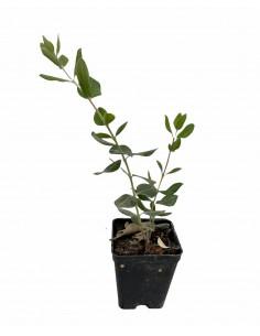 Feijoa Sellowiana Plant