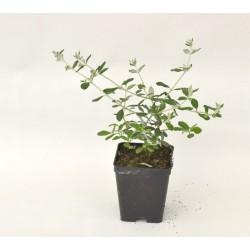 Teucrium Plant