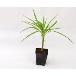 Ruellia Plant