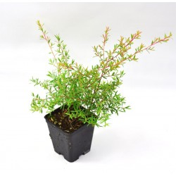 Pianta Leptospermum