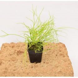 Russelia Plant
