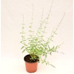 Perovskia Plant