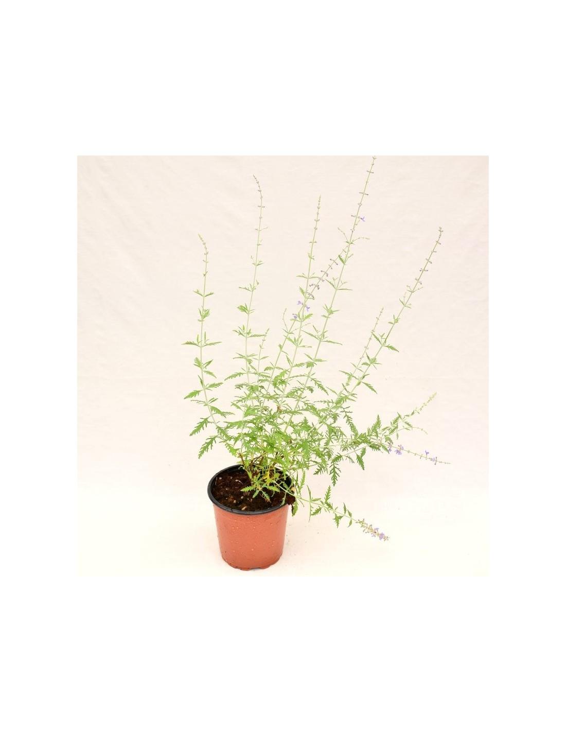 Piante Adatte Al Sole Diretto vendita pianta perovskia -piante da cespuglio   mondo piante