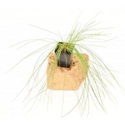 Pennisetum Plant