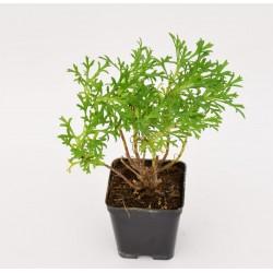 Daisy Plant