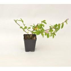 Grewia Plant