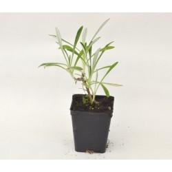 Gazania Nivea Plant