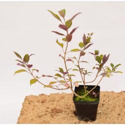 Agnocasto Plant