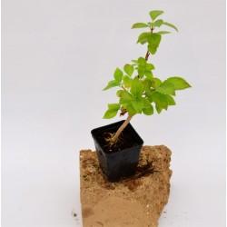 Forsithia Plant Vase 7cm