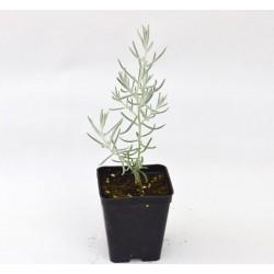 Eremophila Nivea Plant