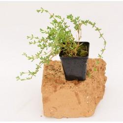Pianta Drosanthemum