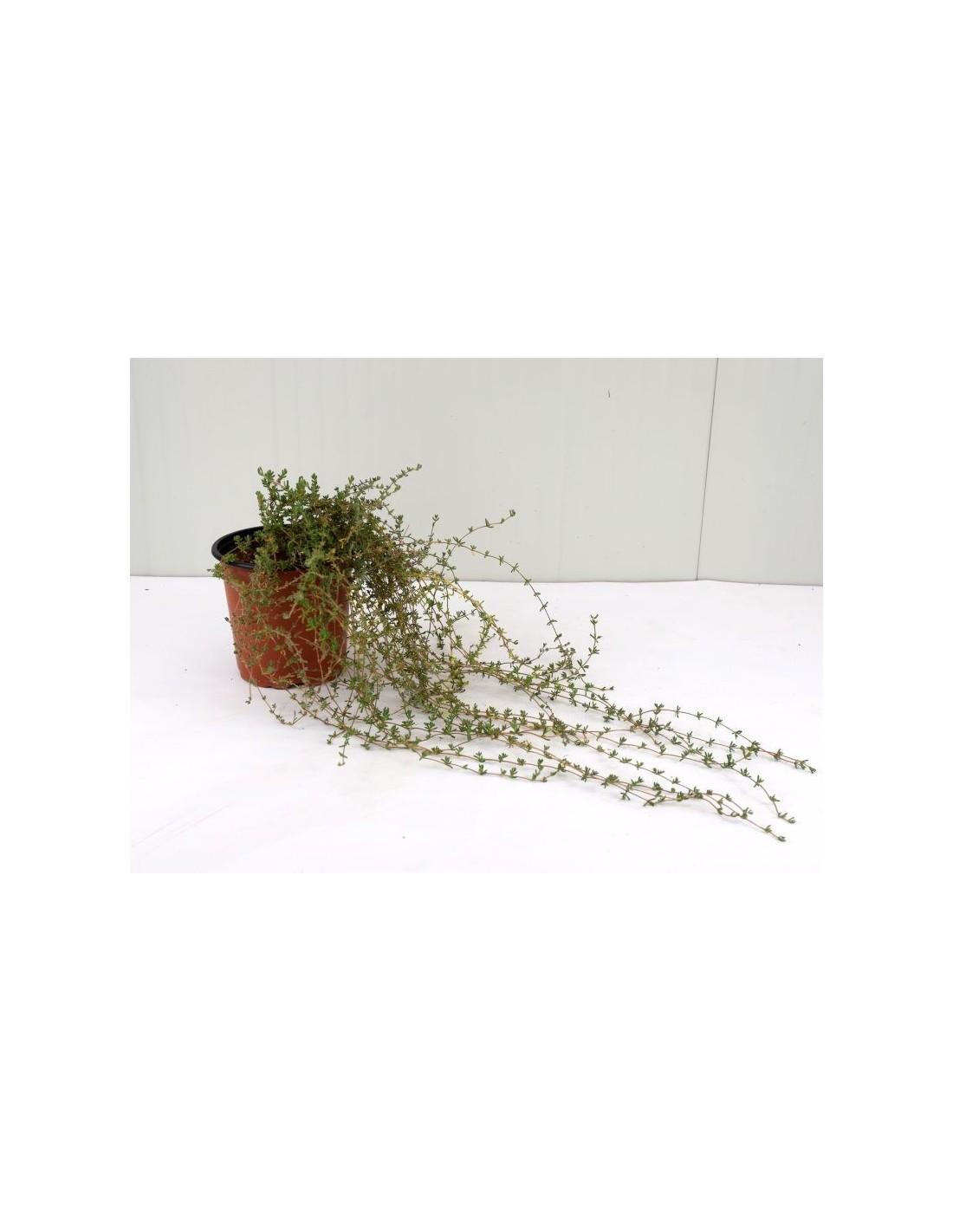 Barba Di Giove Sempreverde vendita pianta drosanthemum - piante da cespuglio | mondo piante
