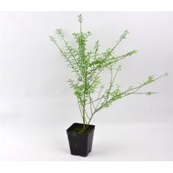 Cytisus Plant