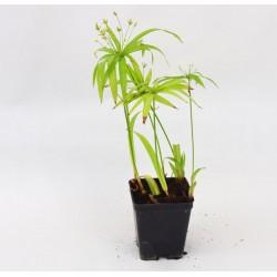 Pianta Cyperus Alternifolius