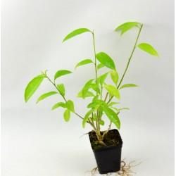 Cestrum Plant Vase 7cm