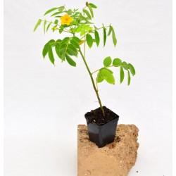Cassia Corymbosa Plant Vase...