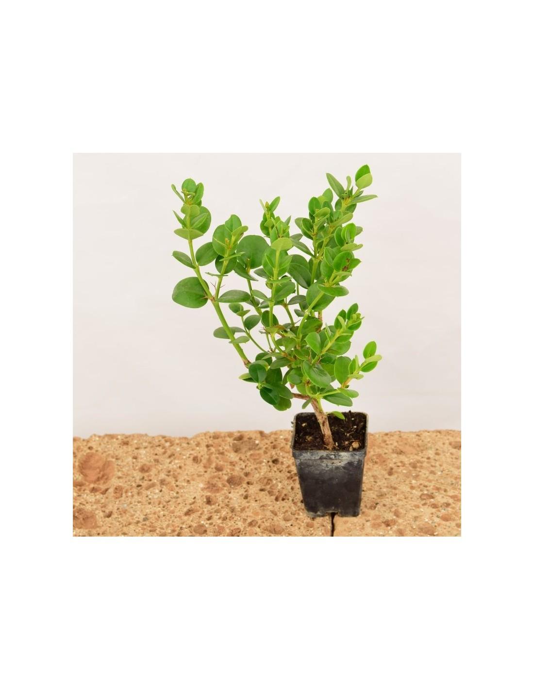 Coltivare Lamponi In Vaso vendita pianta carissa jasminoides - piante da cespuglio  mondo piante