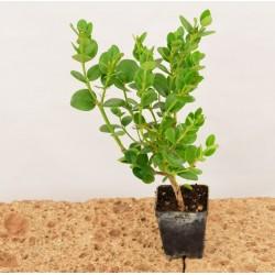 Pianta Carissa Grandiflora