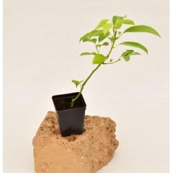 Camphora Plant