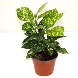 Aucuba Plant Vase 14cm