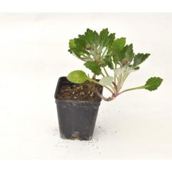 Arctotis Plant