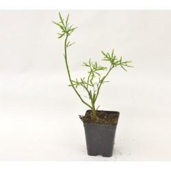 Alyogyne Delighfully Plant
