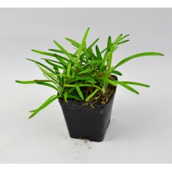 Agapanthus Peter Pan Plant
