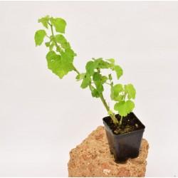 Pianta Abutilon Vaso 7cm