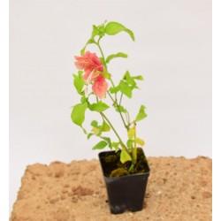 Beloperone Guttata Plant
