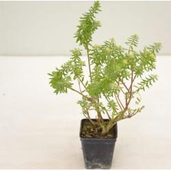 Westringia Fruticosa Plant