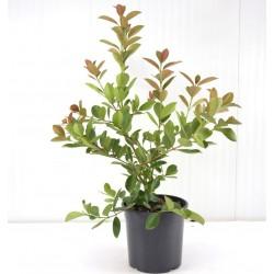Psidium Guajava Plant