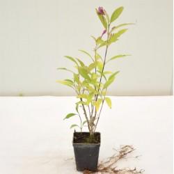 Pianta Pseuderanthemum