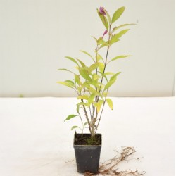 Pseuderanthemum Plant
