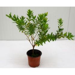 Polygala Myrtifolia Plant